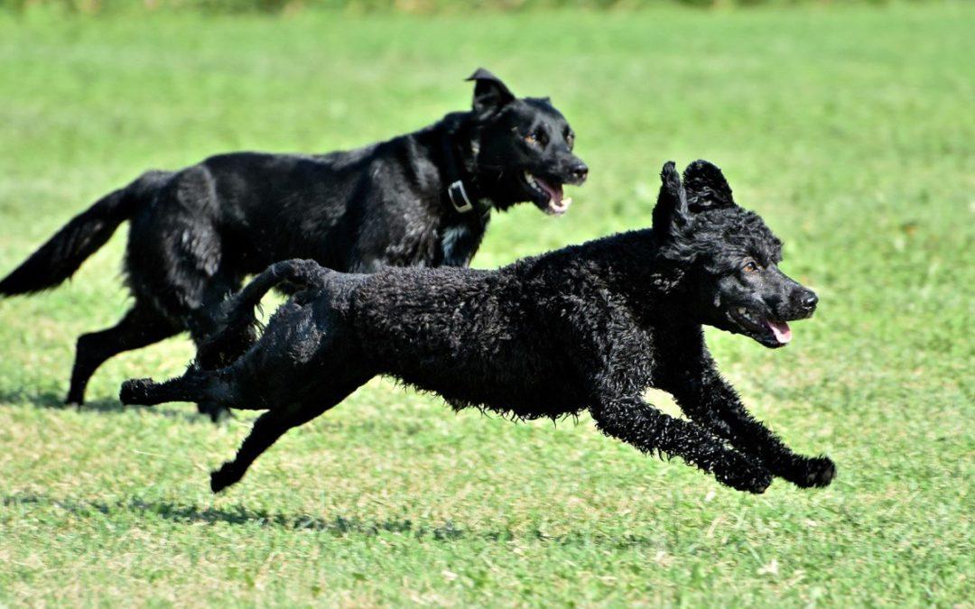 Zabawa psów (cz. 1): zabawa pies – pies